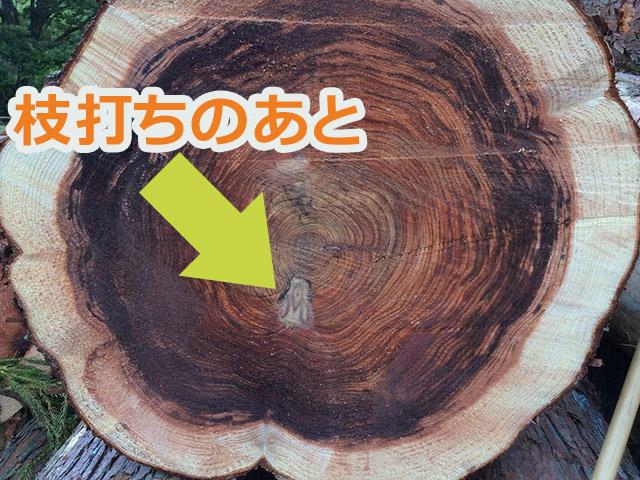 現場で50年前の枝打ちされた部分が出てきた。