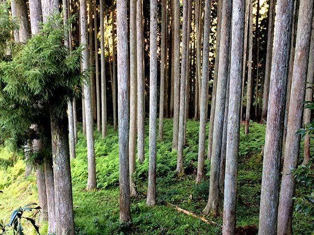 隠し田で育った木
