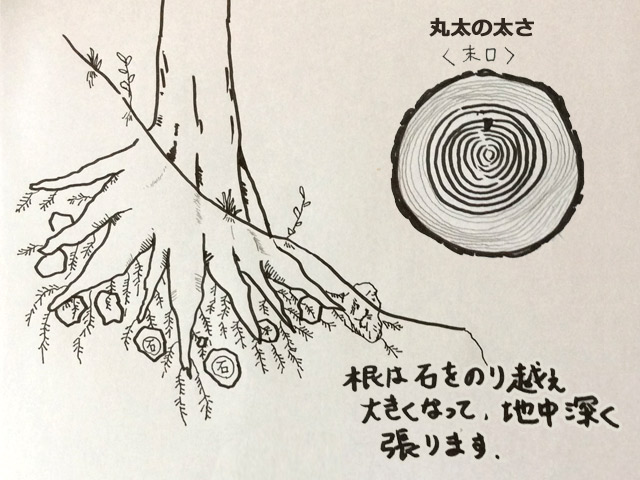 根は石を乗り越え大きくなって、地中深く張ります。