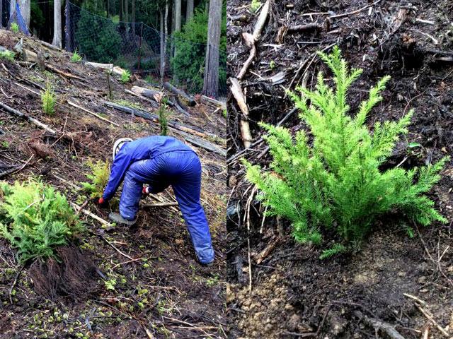 伐採した林地に、木の苗を植える作業