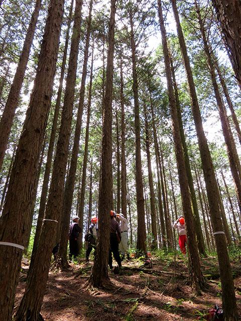 樹齢約35〜40年の桧を間伐