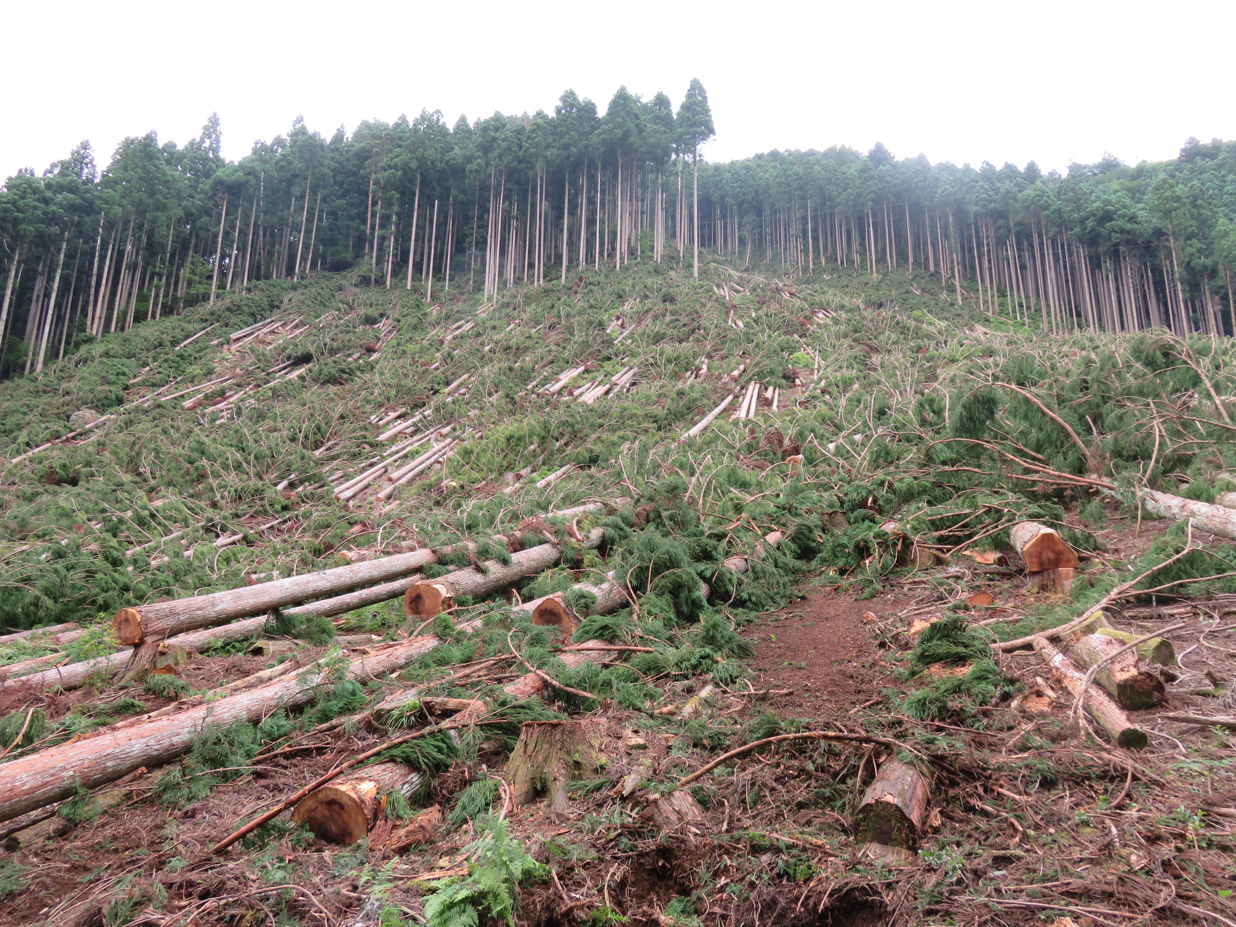 京都の伐採現場