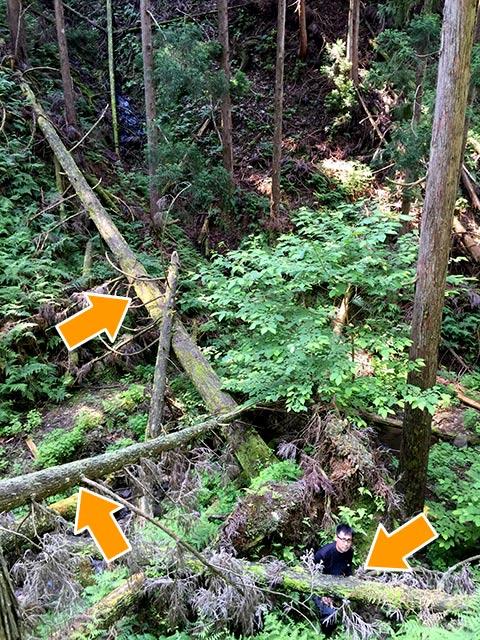 受け継がれた木もこのように倒れてしまっては、どうすることもできません