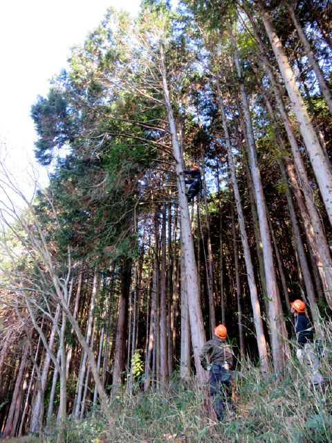 ヒノキの木の枝を登って落とします。