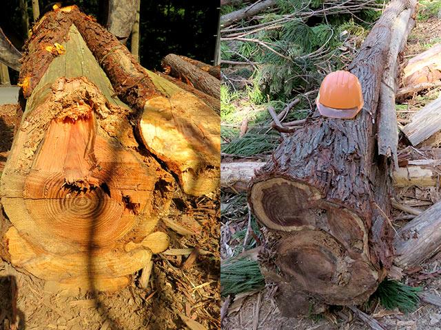 皮がむかれた部分は、スカスカでもう木材としては使えません