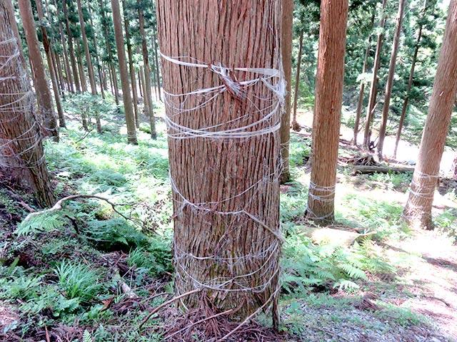 ビニールテープを巻いて熊に木を剥がされないよう対策