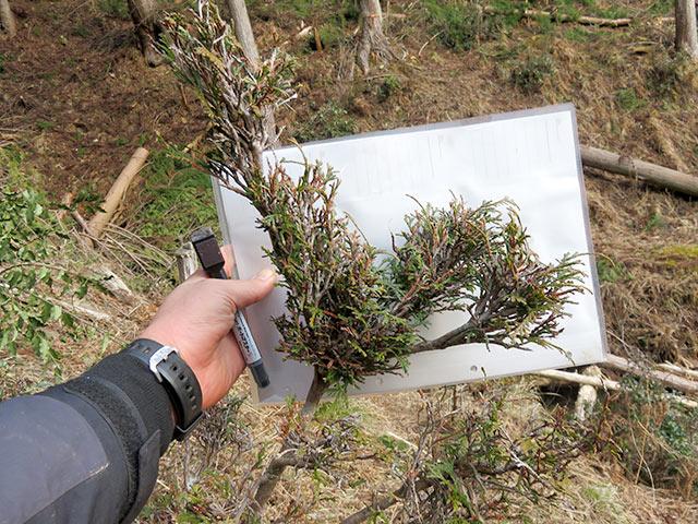 新芽が出るたびに食べられている桧の若木