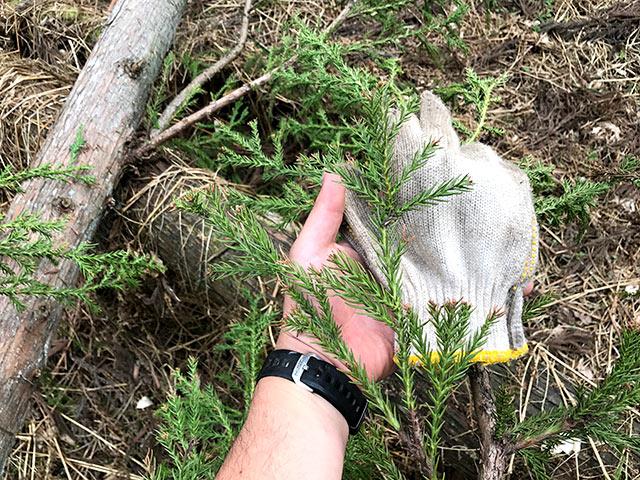 こんなに小さいけど14年たった桧の若木です。