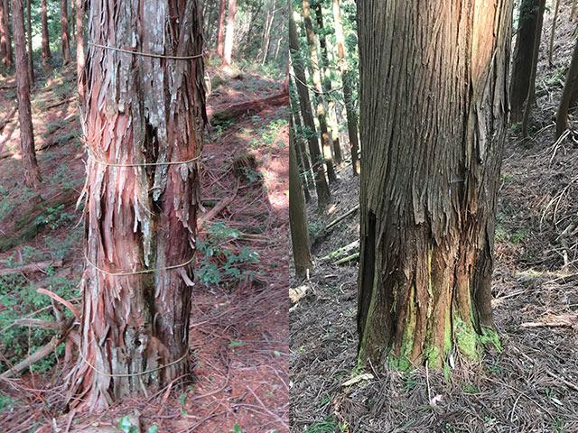 鹿が皮を剥いた木