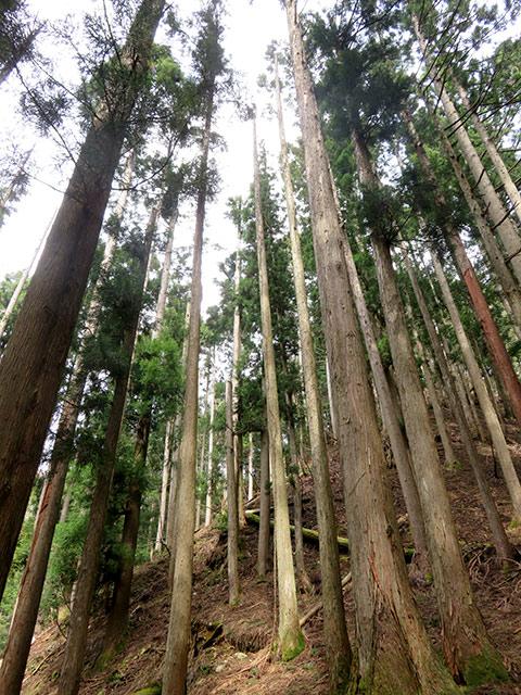 人が植えたスギやヒノキが生えている山 (用材林地)