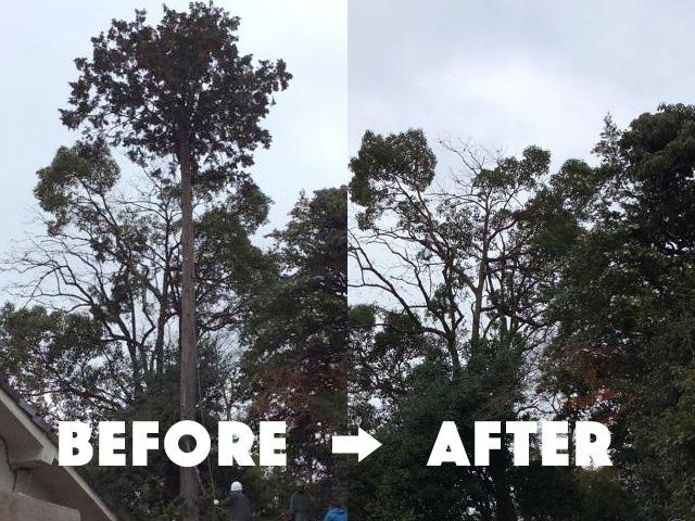 【京都府八幡市】高くなりすぎた伐採樹齢100年の桧の木の伐採
