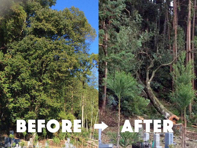 【京都府右京区京北山国】樹齢100年になる樫の木の危険木伐採