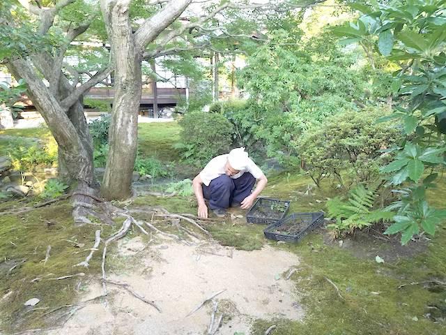 お寺の禿げてしまった庭に苔を移植中
