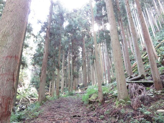 京北、美山の木は、ほとんど(7割以上)が戦後植えられた木。