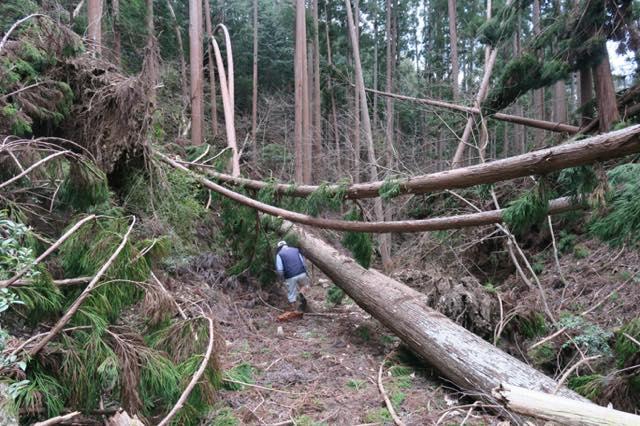 【京都府南丹市美山町】平成30年の台風21号で倒れてしまった木を安全に搬出させていただきました