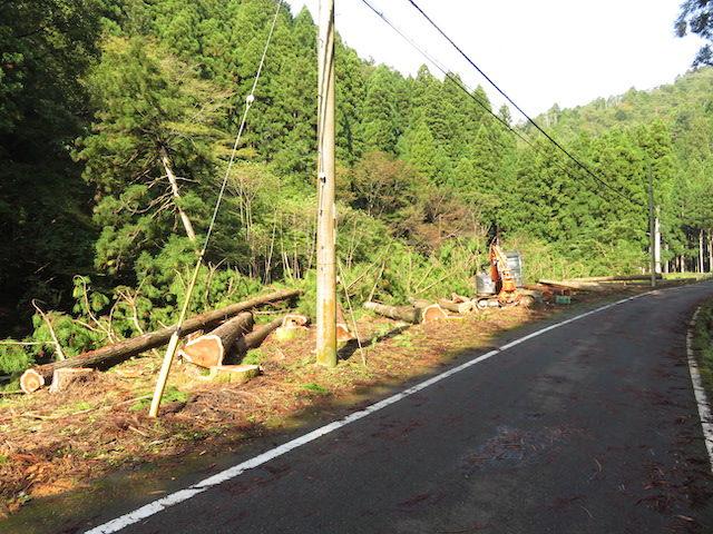 【京都府南丹市知見】府道沿いの土地の大きくなったスギの木を、分けていただきました
