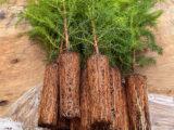 60年後には花粉症がなくなる!?いま植えてる花粉の少ない苗木を紹介します!