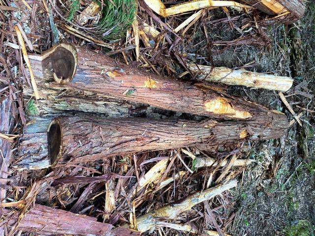 熊が皮をはいでしまった木で商品をつくれないか?「ベアーズ・ウッド」プロジェクトが始動!